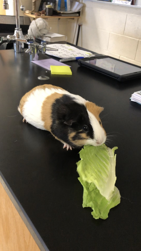 Zeke Foisy brought his pet Guinea Pig into Mr Weinert's Biology Class today.  Zeke did a great job talking about it's natural habitat and adaptations.